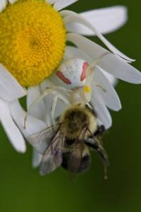 Crab Spider With Lunch